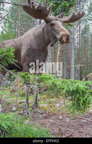 Sweden, Dalarna, Eurasian elk in forest - Stock Photo