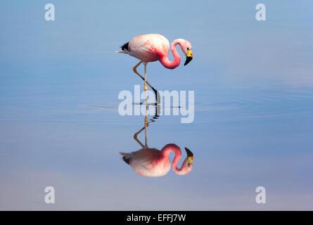 Flamingo. Laguna de Chaxa (Chaxa Lagoon). Sector Soncor, Salar de Atacama. Chile. - Stock Photo
