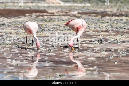 Bolivia, two Andean flamingos, Phoenicoparrus andinus, foraging in water of Laguna Hedionda - Stock Photo