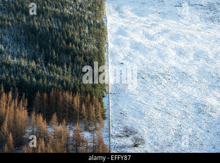 Pine trees on a mountain side next to a snow covered field. Scottish borders. Scotland - Stock Photo