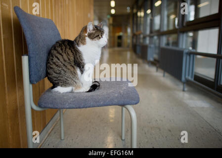 Hildesheim, Germany. 02nd Feb, 2015. Cat 'Fraeulein Sinner' sits on a stool a hallway at the University of Hildesheim - Stock Photo
