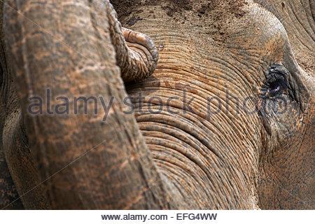 Asian elephant (Elephas maximus), close up of trunk and eye - Stock Photo