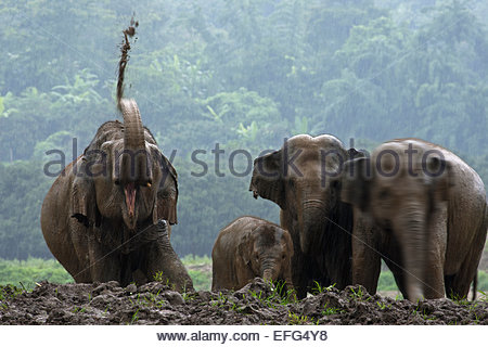 Asian elephants (Elephas maximus), herd with calf taking mud bath in the rain - Stock Photo