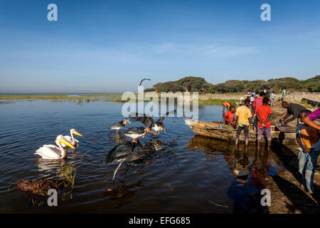 Marabou Storks and Pelicans Wait For Local People To Throw Them Fish Pieces, The Fish Market, Lake Hawassa, Hawassa, - Stock Photo