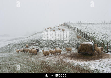 Sheep caught in a snow storm in the French Pyrenees - Stock Photo