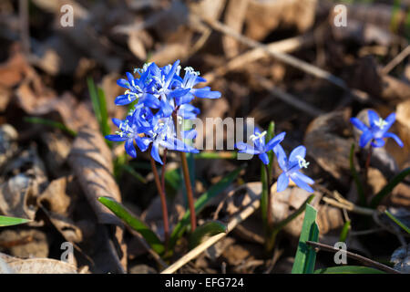 Siberian squill blue flowers in spring - Stock Photo