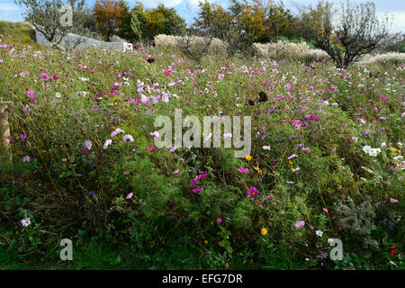 cosmos meadow annual annuals bee friendly planting scheme meadows orchard RM Floral - Stock Photo