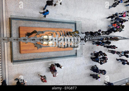 Visitors look at the replica skeleton of a dinosaur at the natural history museum in London - Stock Photo