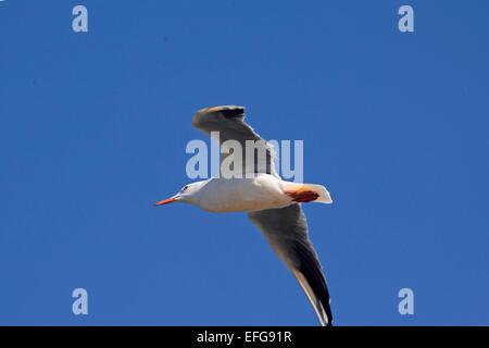 Slender Billed Gull (Chroicocephalus genei) in flight in the blue sky - Stock Photo