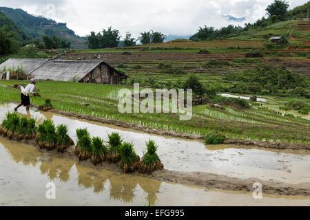 Hmong woman plants rice saplings during rainy season in Cat Cat village near Sapa, northern Vietnam - Stock Photo