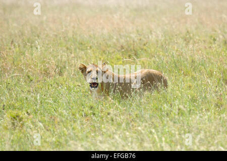 A lioness, Panthera Leo, looking hidden in the grass in Serengeti National Park, Tanzania - Stock Photo