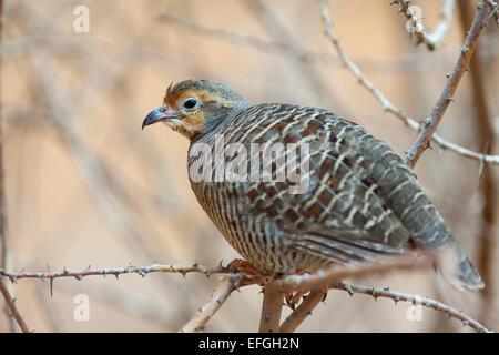 Wildlife : Grey Francolin - 'Francolinus pondicerianus'. - Stock Photo