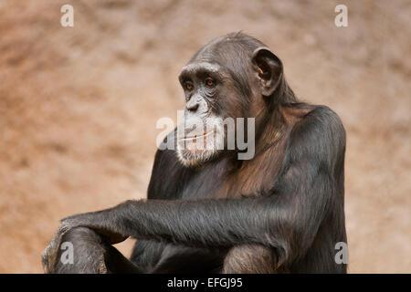 Western Chimpanzee or West African Chimpanzee (Pan troglodytes verus), captive, Saxony, Germany - Stock Photo