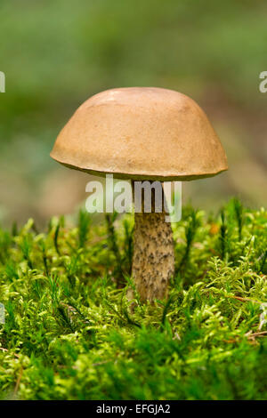 Birch Bolete (Leccinum scabrum), Lower Saxony, Germany - Stock Photo