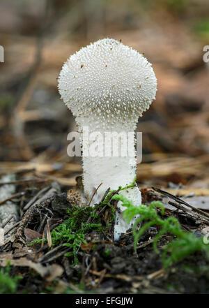 Common Puffball (Lycoperdon perlatum), saprobiontic fungus, edible, Switzerland - Stock Photo
