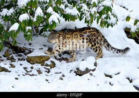 Snow Leopard (Panthera uncia), juvenile, walking on snow-covered rock, captive, Switzerland - Stock Photo