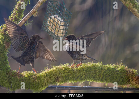 Two starlings on squabbling over food whilst stood on a mossy perch. Two starlings on squabbling over food whilst - Stock Photo