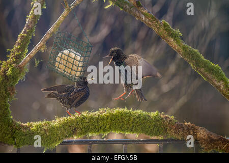 Two starlings on squabbling over food whilst stood on a mossy perch. They have their wings out and beaks open. - Stock Photo