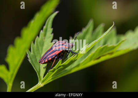 Black and red coloured bug in the nature - Stock Photo