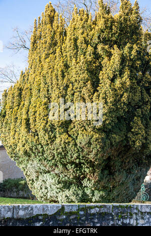 Ancient yew tree (Taxus baccata) - Stock Photo