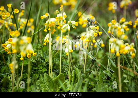 Primula veris (Common cowslip) - Stock Photo