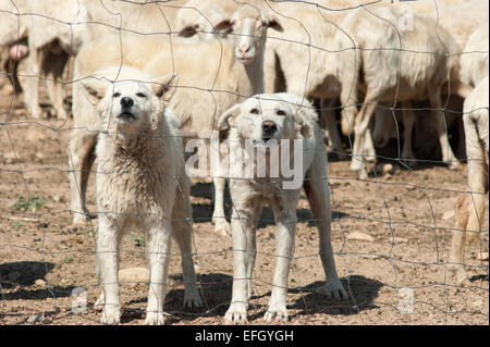white sheepdogs - Stock Photo