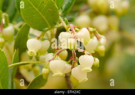 Flowers of Arbutus unedo, The Strawberry tree. Skopelos, Greek island, October. - Stock Photo