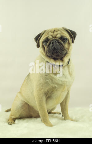 A Pug dog sitting on a rug - Stock Photo