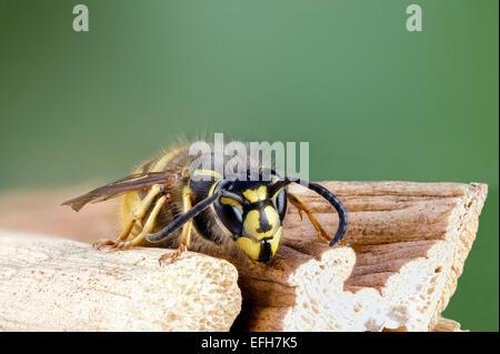 Close up of common wasp Vespula vulgaris - Stock Photo