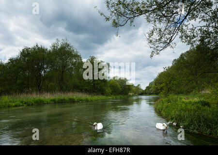 A pair of adult Swans and their five Cygnets on the River Itchen at Martyr Worthy near Winchester, Hampshire, South - Stock Photo