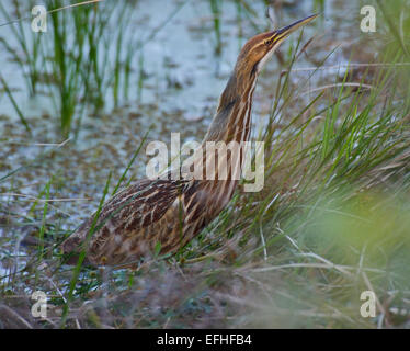 American Bittern Hunting In Florida Wetlands - Stock Photo
