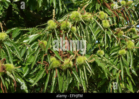Foliage of a sweet chestnut tree, Castanea sativa, with prickly fruit containing the chestnuts, Berkshire, August - Stock Photo