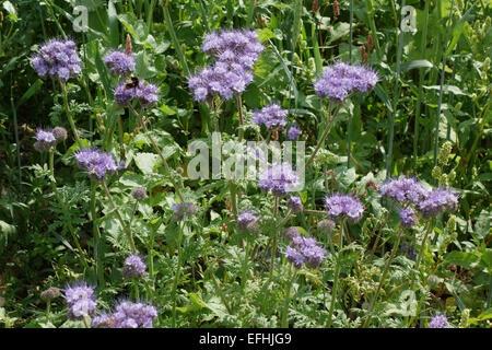 Blue flowers of phacelia, Phacelia tanacetifolia, in a wild flower strip used to attract predators to arable crops, - Stock Photo