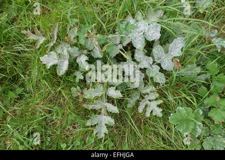 Umbellifer powdery mildew, Erysiphe heraclei, on common hogweed plant, Heracleum sphondylium, secondary host, Berkshire, - Stock Photo
