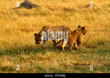 African Lion Is A Magnificent Animal Who Is A Symbol Of Power