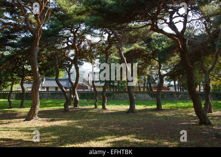 pine trees in Gyerim forest in Gyeongju, Korea - Stock Photo