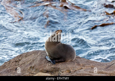 Fur seal on a rock, Kaikoura, Canterbury, South Island, New Zealand - Stock Photo