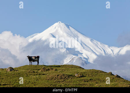 Dairy cow standing on a pasture in front of Mt Egmont volcano, Mount Taranaki, North Island, New Zealand - Stock Photo