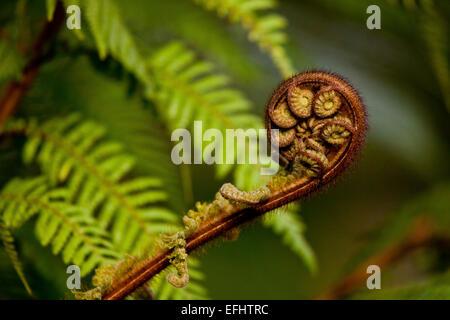 Young fern frond, Maori, koru, Whirinaki Forest, New Zealand - Stock Photo