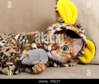 Female Bengal cat kitten on sofa in leopard costume playing with a toy mouse  Model Release: No. Property Release: - Stock Photo