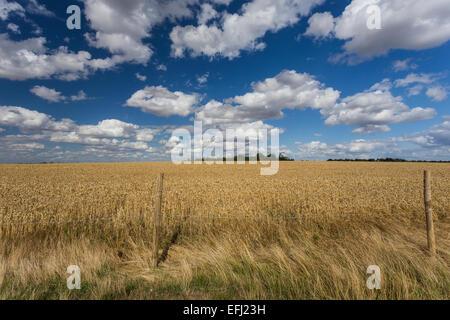 Wheat Field, Cadwell Farm, Ickleford, Hitchin, Herts, England, United Kingdom - Stock Photo
