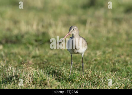 Black-tailed godwit (Limosa limosa) in winter plumage - Stock Photo