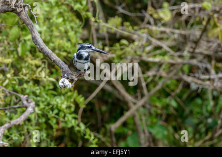 Ugandan wildlife birds - Adult male pied kingfisher (Ceryle rudis) perched on a tree bough. - Stock Photo