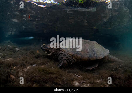 Common Snapping Turtle (Chelydra serpentina), Crystal River, Florida, United States - Stock Photo