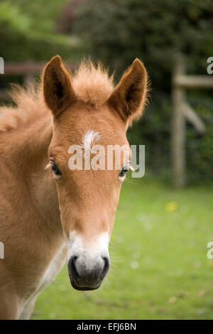 New Forest Pony, foal, New Forest, England, United Kingdom - Stock Photo