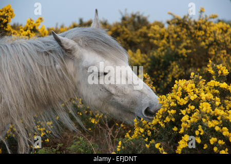 New Forest pony eating gorse near Godshill, New Forest national park. - Stock Photo