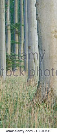 Beach forest, Jasmund National Park, Ruegen, Mecklenburg-Western Pomerania, Germany - Stock Photo