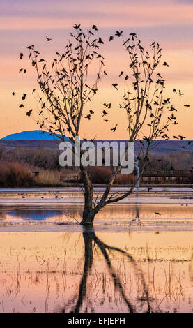 Silhouetted birds perched on bare branches of tree, in Bosque Del Apache National Wildlife Refuge, with pink morning - Stock Photo