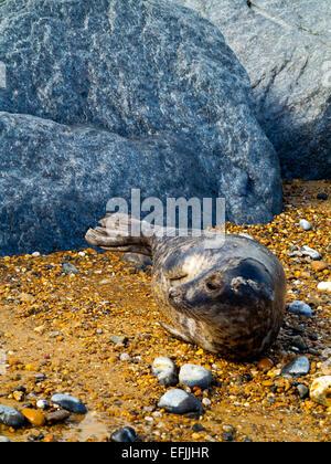 Grey seal Halichoerus grypus on Horsey Beach near the Norfolk Broads on the North Sea coast Norfolk England UK - Stock Photo