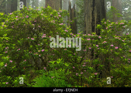 Rhododendron blooms along the trail in Redwood  National Park. California. spring